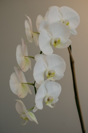 An Orchid inside Stephanie R. Frey's Office at Village Executive Suites in Rice Village, Houston Texas